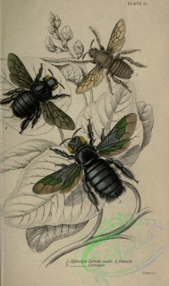 bees-00248 - xylocopa
