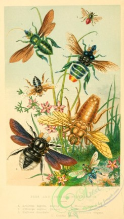 bees-00274 - Bees, Counterfeits, xylocopa, euglossa, chrysantheda, anthophora, crocisa