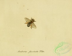 bees-00360 - andrena, 010