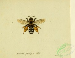 bees-00381 - andrena, 230