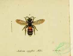 bees-00382 - andrena, 231