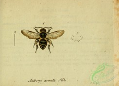 bees-00385 - andrena, 094