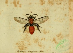 bees-00386 - andrena, 135