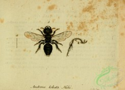 bees-00387 - andrena, 136