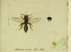 bees-00394 - andrena, 278