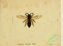 bees-00416 - andrena, 025