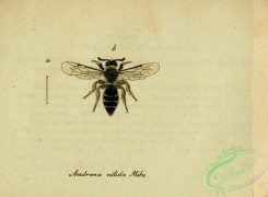bees-00417 - andrena, 026