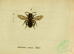 bees-00418 - andrena, 027