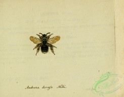 bees-00481 - andrena, 232