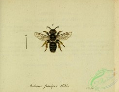 bees-00484 - andrena, 235