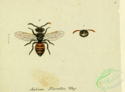bees-00496 - andrena, 109