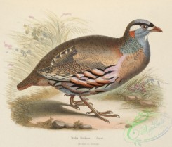 best_birds-00019 - Ammoperdix griseogularis 1849 [4612x3927]