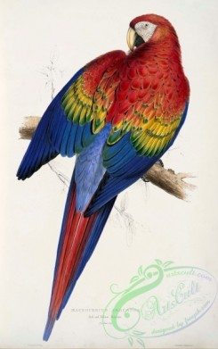 best_birds-00035 - Ara macao -painting by Edward Lear [2645x4213]