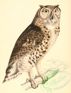 best_birds-00054 - Bubo capensis 1838 [2293x2976]