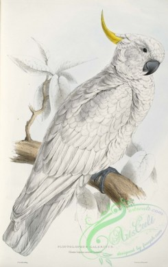 best_birds-00061 - Cacatua galerita - Plyctolophus galeritus Greater Sulphur-crested Cockatoo -by Edward Lear 1812-1888 [2656x4213]