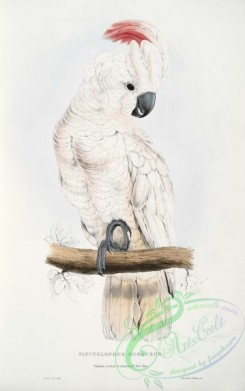 best_birds-00062 - Cacatua moluccensis - Plyctolophus rosaceus Salmon-crested Cockatoo -by Edward Lear 1812-1888 [2645x4213]