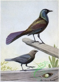 best_birds-00099 - Creaker the Purple Grackle, The Male Cowbird [1554x2181]