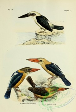 bird_atlas-00048 - Black-billed Kingfisher, Grey-headed Kingfisher