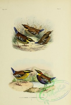 bird_atlas-00083 - pitta cyanura, Bornean Banded Pitta, Elegant or Two-striped Pitta