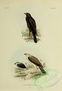 bird_atlas-00088 - spizaetus cirratus, 3
