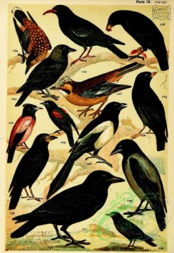 bird_atlas-00309 - 009-Red-winged Starling, Rose-coloured Starling, Chough, Alpine Chough, Nutcracker, Jay, Magpie, Jackdaw, Carrion Crow, Rook, Raven