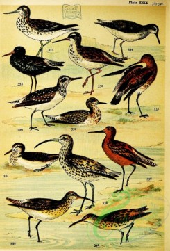 bird_atlas-00329 - 029-Green Sandpiper, Wood Sandpiper, Solitary Sandpiper, Redshank, Spotted Redshank, Yellowshank, Greenshank, Bar-tailed Godwit, Black-tailed Godwit, Curlew, Whimbrel, Eskimo Curlew