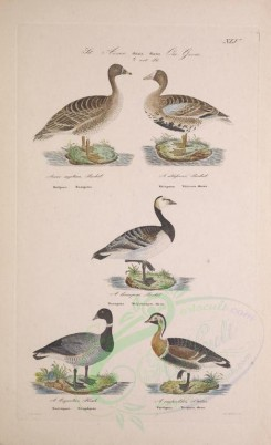 birds-03693 - Bean Goose, Greater White-Fronted Goose, Bernicle Goose, Brent Goose, Red-breasted Goose [2943x4828]