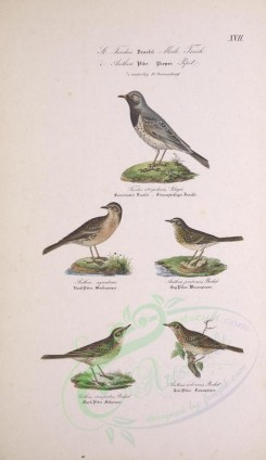 birds-03698 - Black-throated Thrush, Rock Pipit, Meadow Pipit, Tawny Pipit, Tree Pipit [2759x4770]