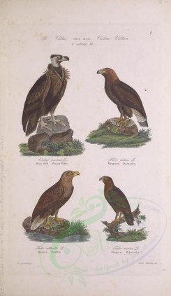 birds-03705 - Cinereous Vulture, Golden Eagle, White-Tailed Eagle, Spotted Eagle [2864x4932]