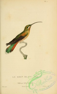 birds-14820 - Eastern Long-tailed Hermit, 2 [2197x3587]