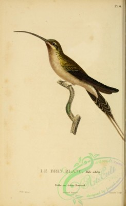 birds-14821 - Eastern Long-tailed Hermit [2197x3587]