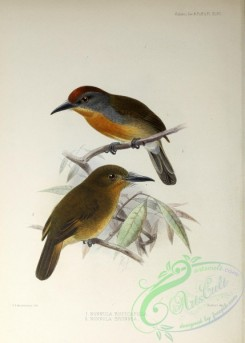 birds-16131 - Rufous-capped Nunlet, Brown Nunlet [2858x3992]