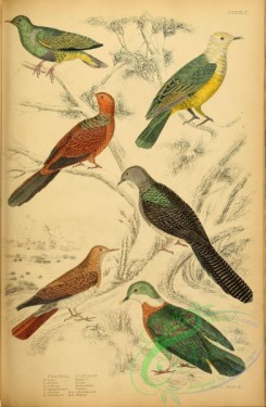 birds-28076 - Dwarf Pigeon, Pearly Pigeon, Red-headed Pigeon, Banded Pigeon, Ash-coloured Pigeon, Diadem Pigeon