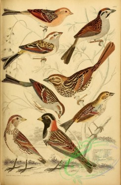 birds-28078 - Field-sparrow Finch, Swamp Finch, Tree Finch, Song Finch, Chipping Finch, Henslow's Bunting, Lapland Long-spurred Bunting