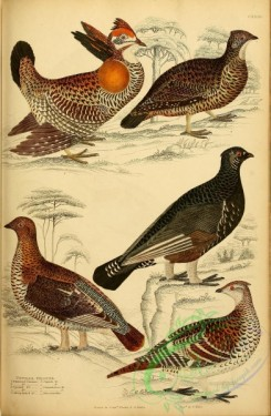 birds-28090 - Pinnated Grouse, Spotted Grouse, Sharp-tailed Grouse