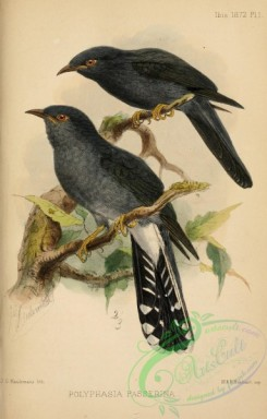 birds-30992 - polyphasia passerina