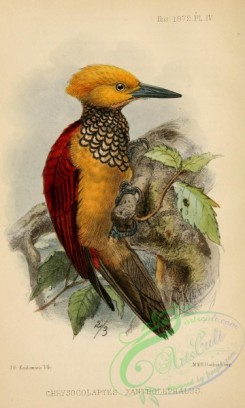 birds-30995 - Yellow-faced Flameback, chrysocolaptes xanthocephalus