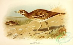 birds-33602 - Eurasian Stone-curlew, oedicnemus crepitans