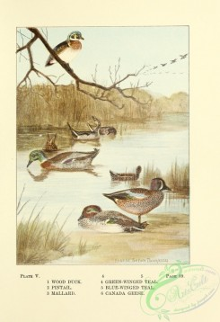 birds-36714 - 005-Wood Duck, Pintail, Mallard, Green-winged Teal, Blue-winged Teal, Canada Goose