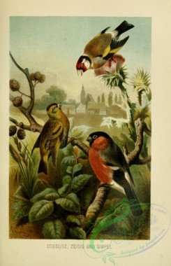 birds-37157 - European Goldfinch, carduelis carduelis, Finch, Bullfinch