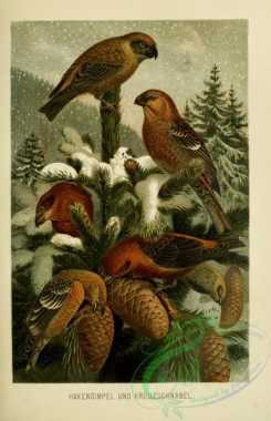 birds-37161 - Pine grosbeak, Crossbill