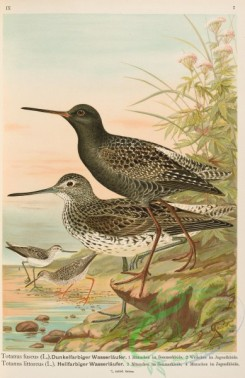 birds-37279 - Spotted Redshanks, totanus fuscus, Common Greenshank, totanus littoreus