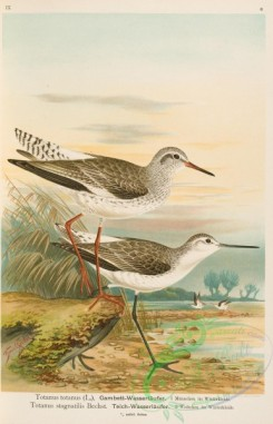 birds-37283 - totanus totanus, Marsh Sandpiper, totanus stagnatilis, 2