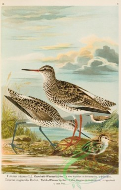 birds-37284 - totanus totanus, Marsh Sandpiper, totanus stagnatilis