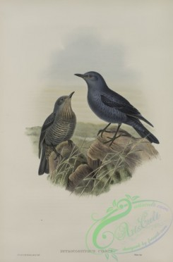 birds-37627 - 313-Petrocossyphus cyanus, Blue Rock-Thrush