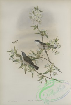 birds-37634 - 328-Sylvia curruca, Lesser Whitethroat
