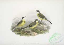 birds-37658 - 356-Budytes cinereocapilla, Grey-capped Wagtail