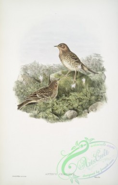 birds-37665 - 363-Anthus cervinus, Red-throated Pipit