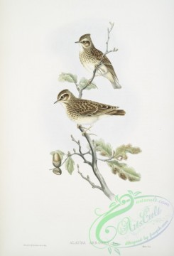 birds-37669 - 367-Alauda arborea, Wood-Lark