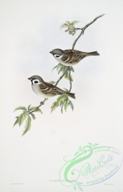 birds-37685 - 384-Passer montanus, Tree-Sparrow